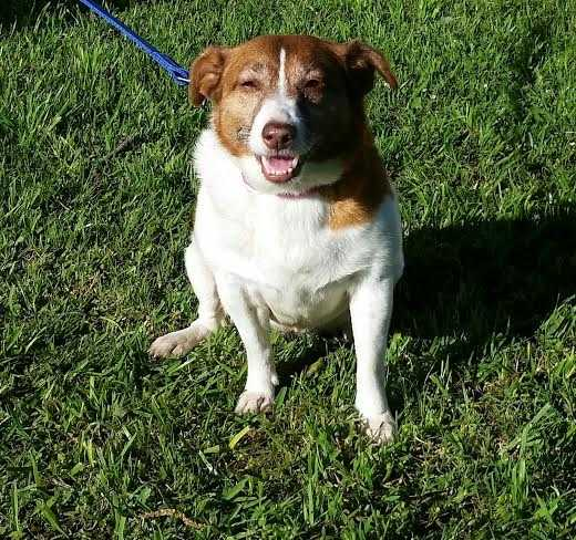 Peanut is a 5 year old Jack Russell terrier mix. She is a playful girl who is great with kids. MORE