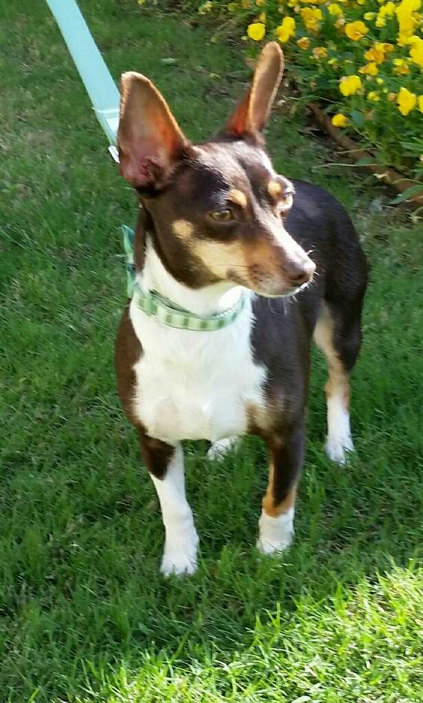 Sadie Belle is a 2 year old rat terrier mix. She loves everyone she meets, including kids. MORE