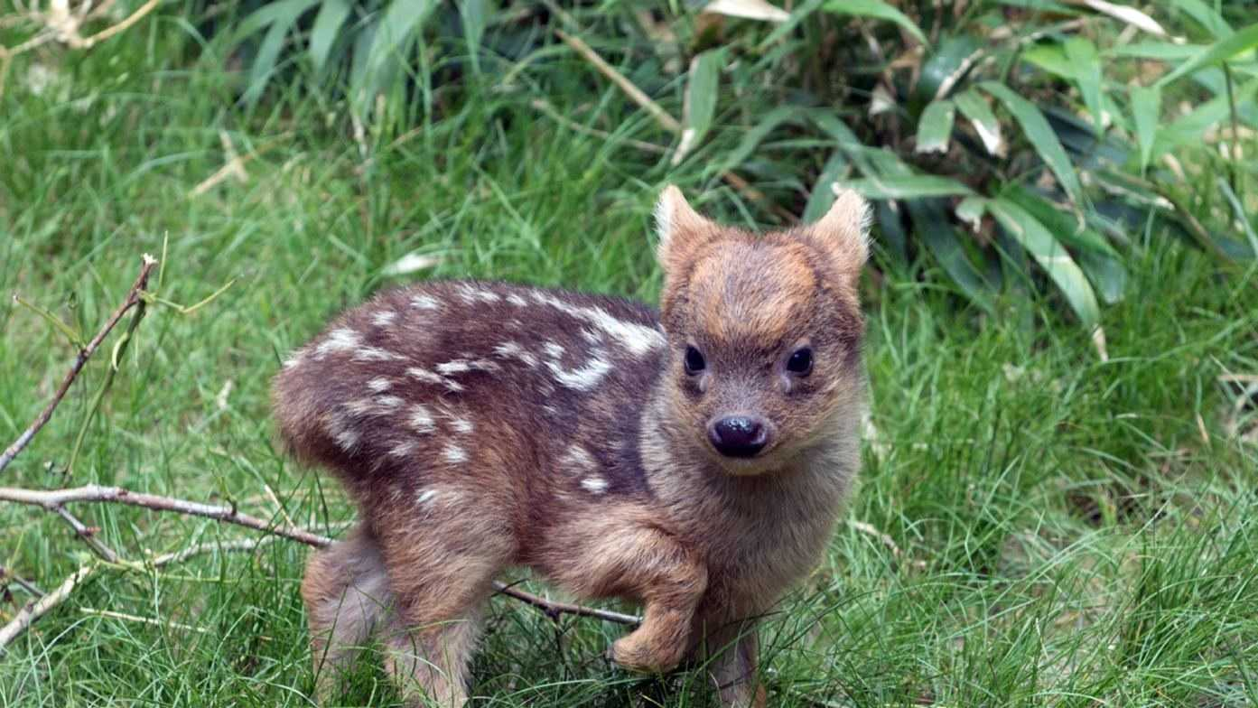 In this May 27, 2015 photo provided by the Wildlife Conservation Society, a southern pudu fawn walks in its enclosure at the Queens Zoo in New York. The male southern pudu fawn, the world's smallest deer species, was born May 12 at the Queens Zoo. Southern pudus tend to be around a foot tall at the shoulder. When they're born, they're only 6 inches high, and weigh less than a pound.