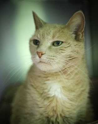 Cassidy is an amazing senior cat who was found as a stray. She is a talker and loves to greet the staff as they arrive in the mornings. Please come meet this sweet lady today! More