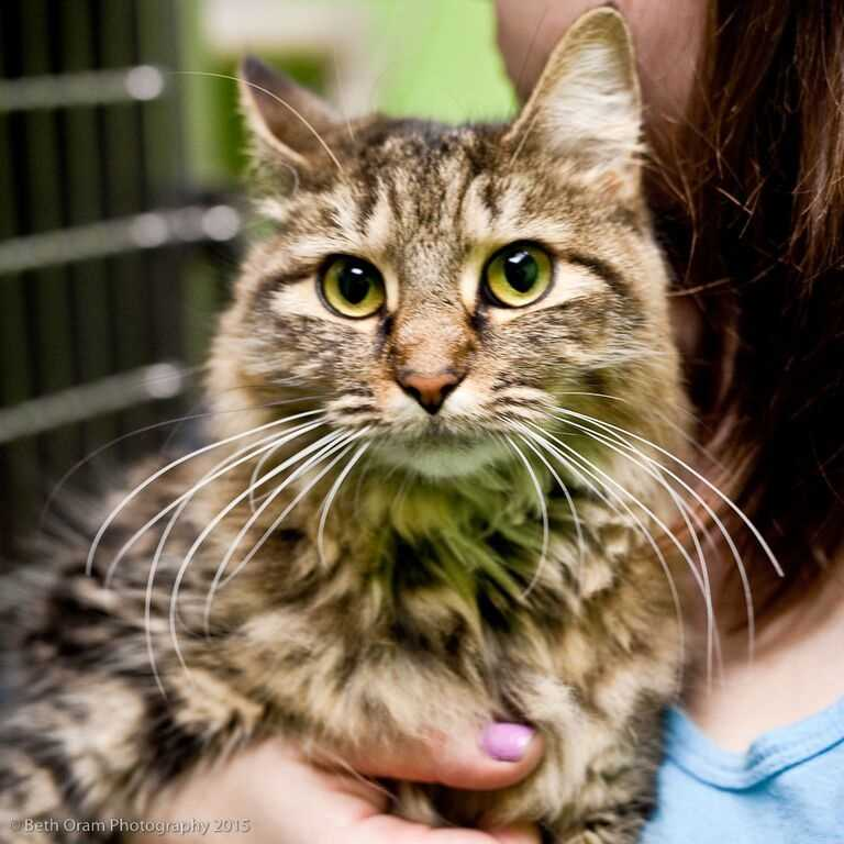 Meet this adorable girl Chloe who looks like a Maine coon mix and is very friendly. She loves to be petted and will sit in your lap for more loving. Chloe enjoys hanging around her human friends and will follow you around. Chloe is scared of dogs and should not go home with one. More