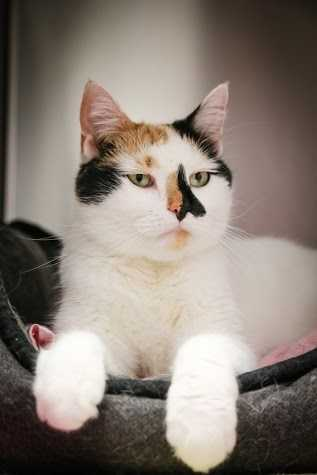 Meet May. This girl is ready to find her home this spring!!! She is a large girl with gorgeous calico markings. May would prefer no young children. May, like some calico cats, has catitude and will let you know when she doesn't like something. She loves to purr and be petted. May is a huge fan of soft blankets and will knead them for hours. She loves to play and chase her toys. If you want a fun, loving, quirky cat then May is your girl! More