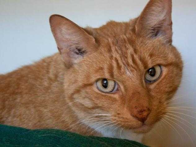 Hi! My name is Hansel! I came to the MSPCA because I was found wandering around Jamaica Plain so the staff and volunteers don't know a ton about me other than I love pets and scratches and I am a super affectionate young guy. I get pretty nervous around new people but I warm up quickly and wouldn't miss an opportunity for some loving! I am a unique guy just looking for a home to take me in and love me forever, could that be your home? MORE