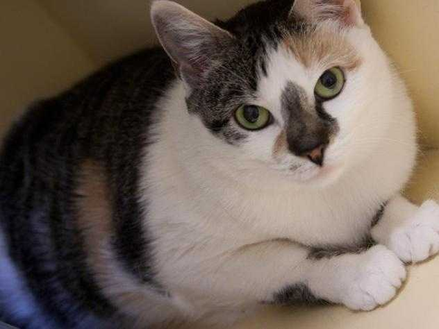 Hi, I'm Mimi, a sweet calico girl with a gentle disposition. I'm a little bit shy in the shelter and you may have to coax me out of my box (I love my box!), but I do enjoy a bit of attention if you take it slow. I'm used to a quiet and laid-back environment, so I'd probably do best in a calm home without rowdy children or dogs. MORE