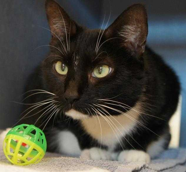 Hi! I'm Prana, a beautiful tuxedo kitty, but I am more than my good looks. I am a sweet and lovable lady with a mellow temperament. I am independent, but I enjoy being petted by my human friends. I have lived with kids before and we got along great. I'm really excited to find a new forever home! MORE