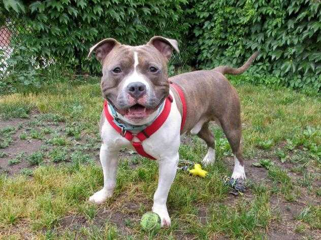 Hi my name is Ralphie and I'm like a rocket! If you are looking for a dog bursting with personaility and energy then I'm the dog for you. I could probably live with older, robust kids but may be a bit much for younger children. If you have a dog at home please ask a staff member to introduce us. Pittie experience would be great too! Come meet me today! More