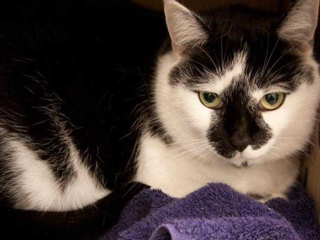 Hi everyone! My name's Shelby. I'm a beautiful 6 year old girl with a soft, black and white coat. I love people and when I get to know someone well I really enjoy being petted and cuddling with them. Some of my favorite things to play with are string toys and laser lights. I need to be in a home where I am the only cat, but I know that I'll shower my forever family with love. Do you think I'll be coming home with you? MORE