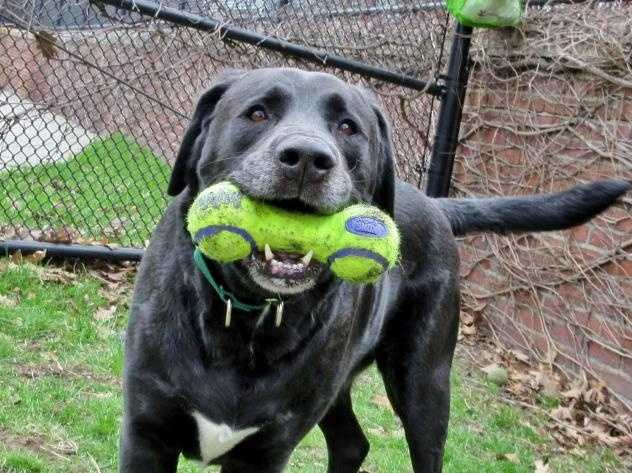 Hi, I'm Tramp! Are you looking for a big exuberant lad who just loves to be with people? Here I am! I'm a 5 year old Lab and I really am a big boy, I weigh about 110 pounds right now! I came here with my girlfriend Lady because our former guardian was no longer able to care for us. As you've probably guessed, I'm an active boy with an outgoing personality who loves to play with people and balls and toys, if you throw it I'll fetch it. I'm hoping to go home with a family that has big dog experience. MORE