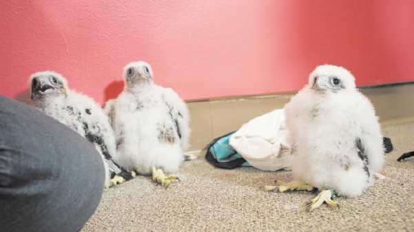 Three falcon chicks wait patiently to return to the nest after they were just tagged with ID bands by Division of Fisheries and Wildlife at UMass Lowell's Fox Hall.