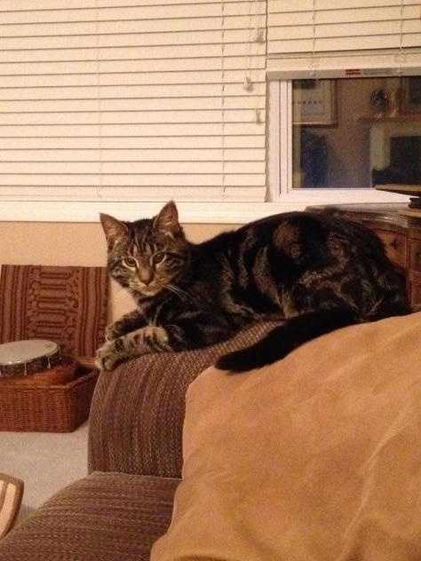My name is Tony. I am almost a year old and am a beautiful young male tiger tabby. I am extremely curious, but very well behaved and obedient. I love to play with strings and toys, scratch on the scratching post and look out the windows. More