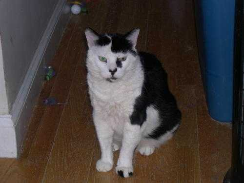 My name is Andy. I am a 13 yr old short-haired black and white male who was taken in as a friendly stray. I put up a tough-guy front but I really am a softie would love to have a permanent home of my own. I will sleep with you at night, and love to sit on your lap and have my chin scratched very lightly. I am FIV positive, but the virus is not contagious to humans or dogs. I would be OK with other vaccinated felines or make a great housemate for a cat with FIV like me. I would love to come home and snuggle with you tonight so please put in an application for me today! More