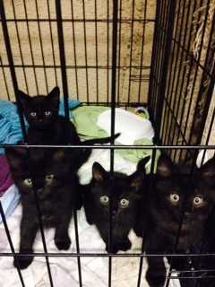 Hi there! We are Inky's kittens and we would love to find great, loving homes! We are 8 weeks old and we are 2 males and 2 females. More