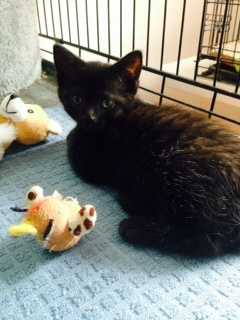 Hi my name is Sharon. I am nine weeks old and love other cats especially to play with and snuggle. More