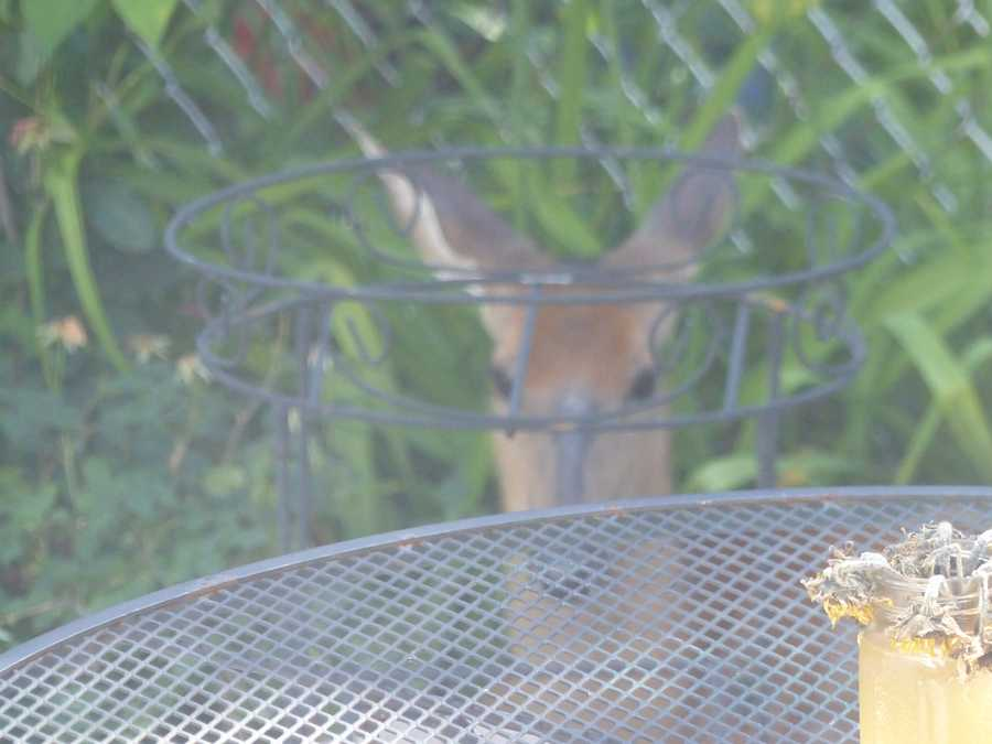 The deer was found resting in a back yard on East 5th Street.