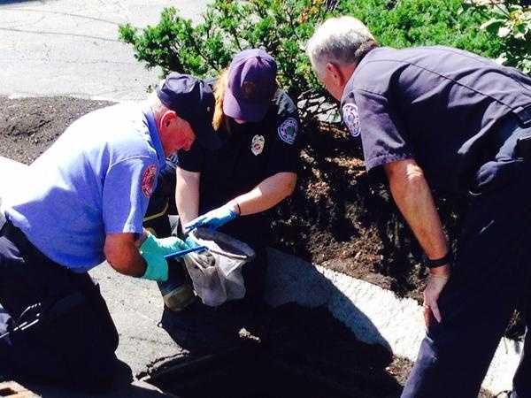 A lucky family of ducklings were rescued from a storm drain in Wellesley on Tuesday.