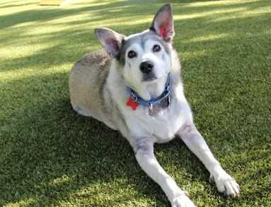 Jack is a mellow 6 year old boy who loves people. He knows sit, down and come. He even will get his own leash! If you are looking for an easy-going companion, Jack's your guy. MORE