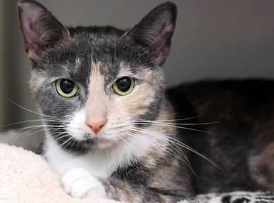 Paws is an adorable little cat with beautiful markings. Shy and sweet, she can be just a little sassy at times. She spayed, loves people and is affectionate and playful and pretty as a picture. MORE