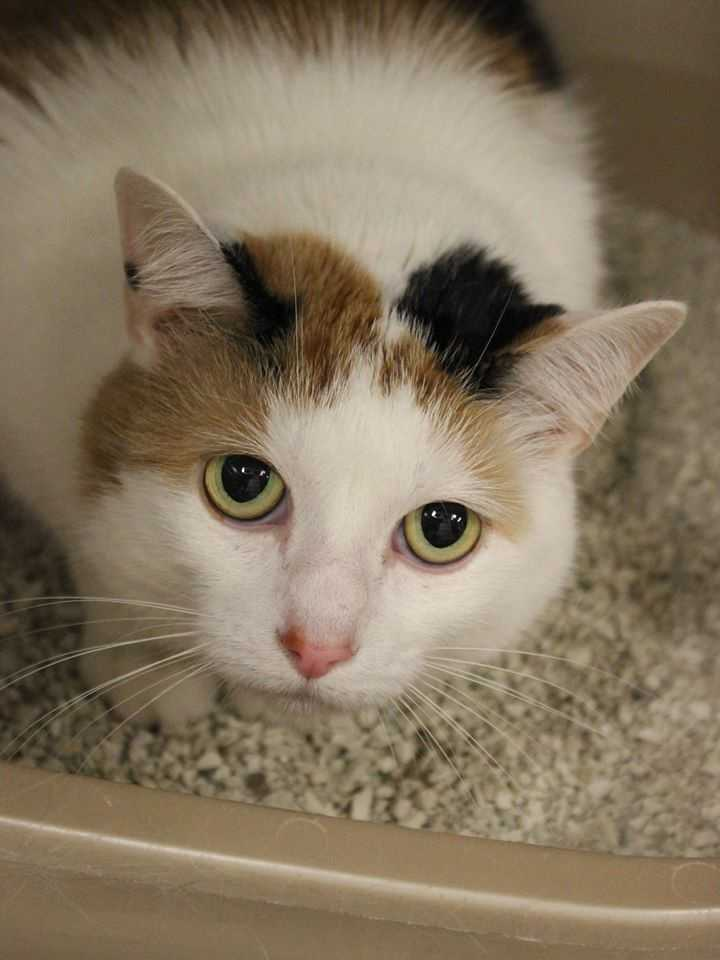 My name is Baby! I am a five year-old female DSH. I was given up because my owner was out-of-state and couldn't take me. Once I've spent some time with you, I'm outgoing and cuddly. I'm not sure how I feel about dogs, but seem to get along with other cats. I've never lived with kids before, so will do best with kids ages 13+. I am litter box trained and an indoor-only cat.For more information, please call, visit, or email the shelter. Buddy Dog Humane Society, Inc. Sudbury, MA (978) 443-6990 or info@buddydoghs.com