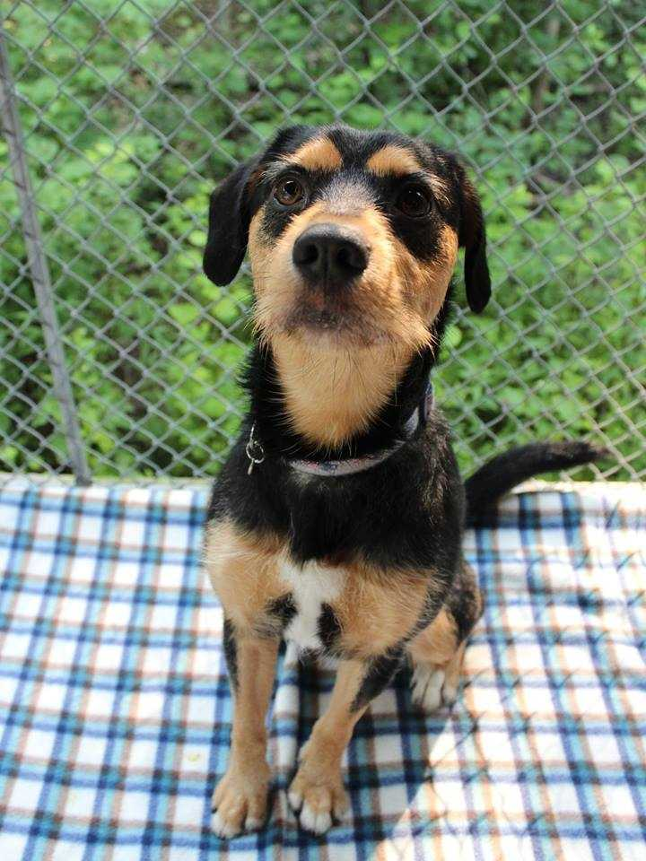 My name is Blue! I am a 2-year-old male Terrier mix. I am housebroken and crate-trained. I get along well with other dogs. I get along with cats, too...as long as they don't mind playing with me! I will do well with kids ages 8+. I am an energetic pup, and will do best in a home where I can go to a training class and get lots of exercise.For more information about me, please call, visit, or email the shelter. Buddy Dog Humane Society, Inc. Sudbury, MA (978) 443-6990 or info@buddydoghs.com