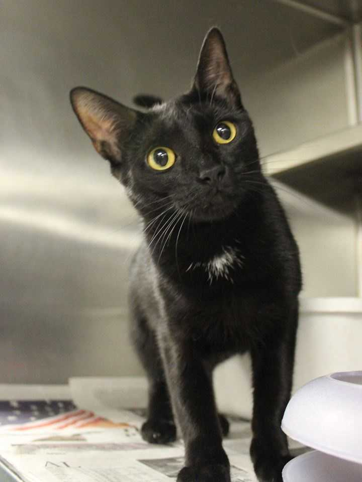 My name is Charlotte! I am a 1 year old female DSH. I'm a sweet, friendly, and outgoing girl. My family was unable to care for me and I came here to find my forever home. I get along well with other cats, but I'm not sure how I feel about dogs. I will get along with kids ages 8+. I am litter-box trained, too! Please call, visit, or email the shelter for more information! Buddy Dog Humane Society, Inc. Sudbury, MA (978) 443-6990 or info@buddydoghs.com