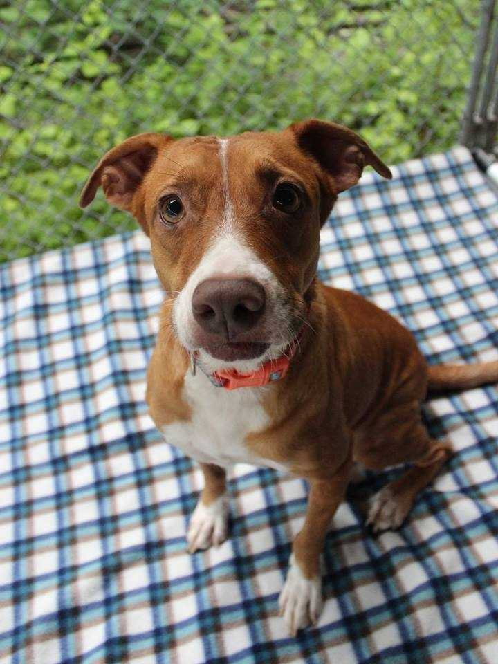 "My name is Hazel! I am a 2-year-old female Sato (street dog from Puerto Rico). I am very, very sweet. You'll know when I'm happy because I ""sing"". I am housebroken and walk well on a leash. I love other dogs and get along well with cats, too! I will do best with kids ages 10+. For more information about me, please call, visit, or email the shelter. Buddy Dog Humane Society, Inc. Sudbury, MA (978) 443-6990 or info@buddydoghs.com"