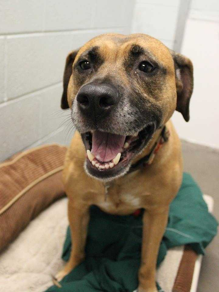 My name is Kye! I am a 3-year-old female Boxer mix. I am housebroken and crate-trained. My personality is laid-back but I love to be active. I am super-super sweet and love people. I will make a great companion in a home with kids ages 15+. My favorite games are fetch, squeaking my squeaky toys, and chasing a laser pointer. I ride well in a car.For more information about me, please call, visit, or email the shelter. Buddy Dog Humane Society, Inc. Sudbury, MA (978) 443-6990 or info@buddydoghs.com