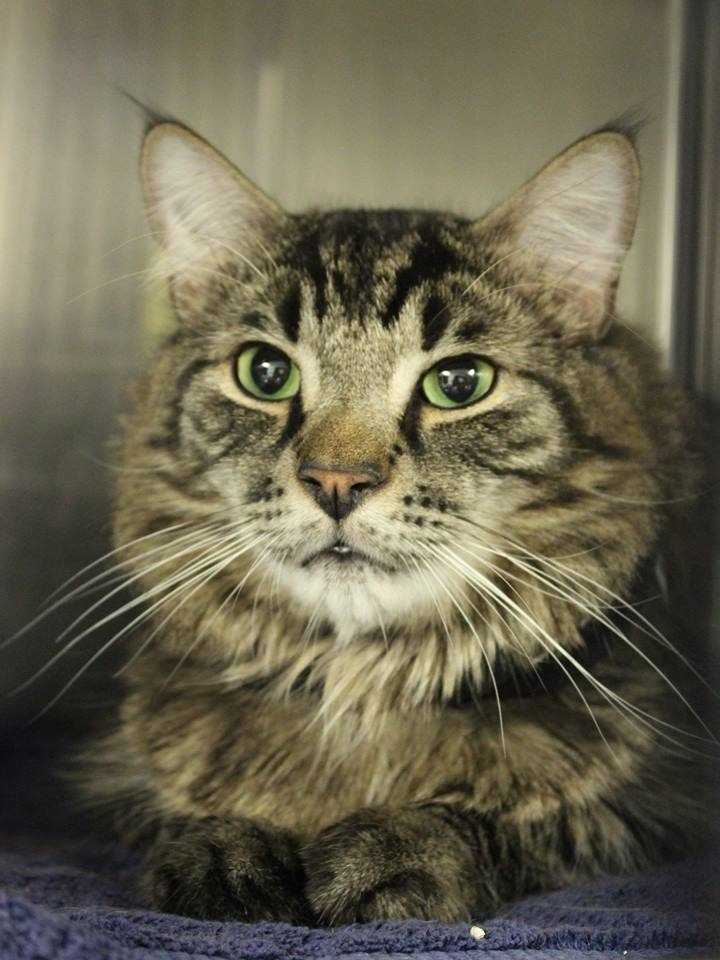 My name is Monty! I am a 3.5-year-old male DLH. I am an independent kitty who likes to do his own thing. I will prefer a quiet & patient home.For more information about me, please call, visit, or email the shelter. Buddy Dog Humane Society, Inc. Sudbury, MA (978) 443-6990 or info@buddydoghs.com