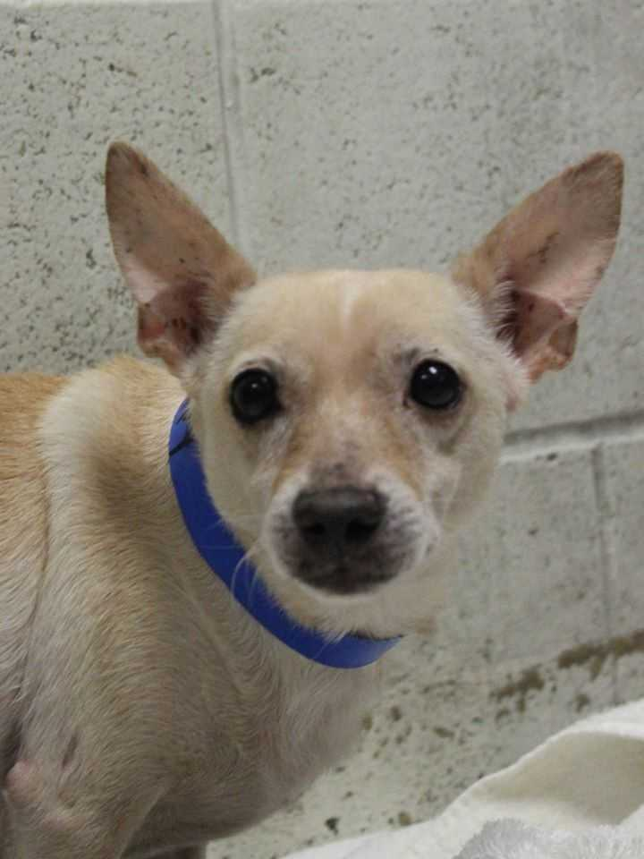 My name is Pappy! I am an 8-year-old male Chihuahua. I like to say that I have all the peppiness of a 70 pound Lab packed into a 10.5 pound body! I get along well with other dogs - especially other little dogs. I am not sure how I feel about cats, though. I am semi-housebroken, but very neat in my cage. I will do well with kids 13+.For more information about me, please call, visit, or email the shelter. Buddy Dog Humane Society, Inc. Sudbury, MA (978) 443-6990 or info@buddydoghs.com
