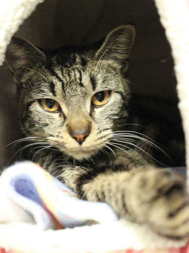 My name is Squiggles! I am a 1-year-old female DSH. I was found as a stray and a nice lady brought me here so I could find my forever home. I am still settling in here. For more information, please call, visit, or email the shelter. Buddy Dog Humane Society, Inc. Sudbury, MA (978) 443-6990 or info@buddydoghs.com