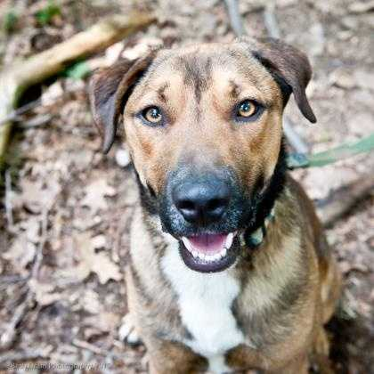 Ranger is a big handsome guy who loves to go on walks, fetch, and get lots of affection. Ranger is crate trained. He is a bit of a lug so would probably do better in a home with teenagers or an adult only home. More