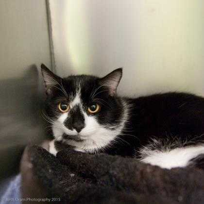 Sheldon is wicked lovable, great with other cats, can be demanding but loves attention. Sheldon is friendly to every person, good with kids. He loves to play especially with mice. More