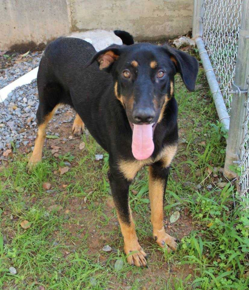 Lady D: I am a 1.5 yr old, 60 lb, Doberman/shepherd mix. I love to play with my foster siblings and am looking for a family who will give me lots of exercise! More