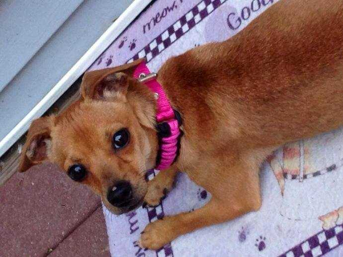 Ladybird: I am a 2 year old, 7 lb chihuahua/dachshund mix. I get along with dogs, cats, and kids so I would be a great addition to any family! I am also house and crate trained! More