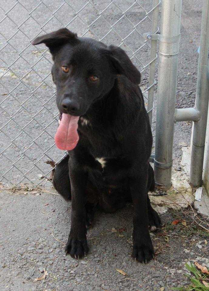 Hank: I am a 2 year old, 55lb, black lab mix. I am a typical lab with lots of love to give! I don't chew anything I am not supposed to, I am house and crate trained, and I am good with dogs, cats, and kids! I am pretty perfect! More