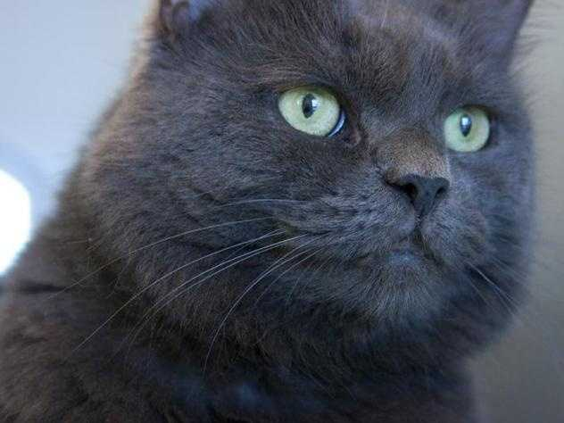 Hi, My name is Kira, and I am one cool cat, with a big wide face and nice long hair! I came to the MSPCA because I was living in a home with too many cats. I'm very sweet, but cautious, and I may do best in a quieter home or with children that have patience. My friend Azriel is here too and I should go home with her or another kitty. MORE