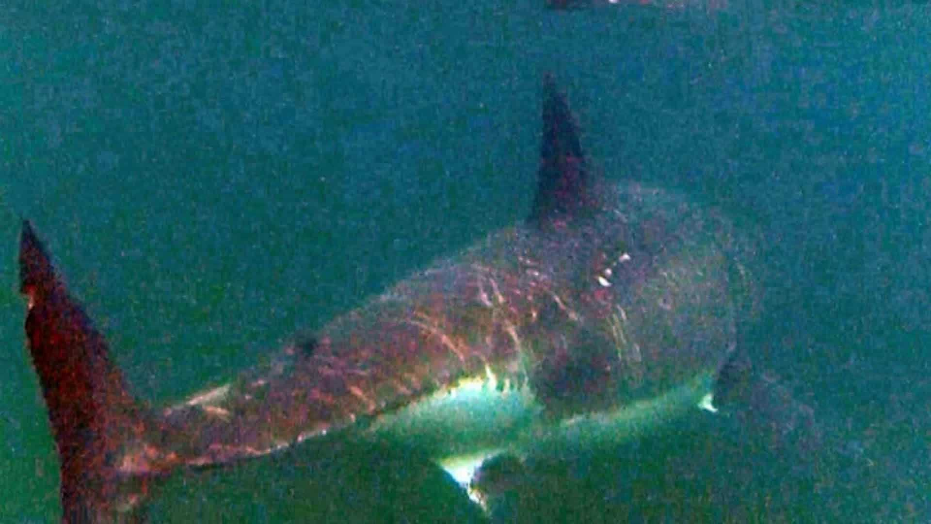 A Lancaster couple was out boating Thursday when they met up with the great white off Race Point.  Video:  Tom Zoller