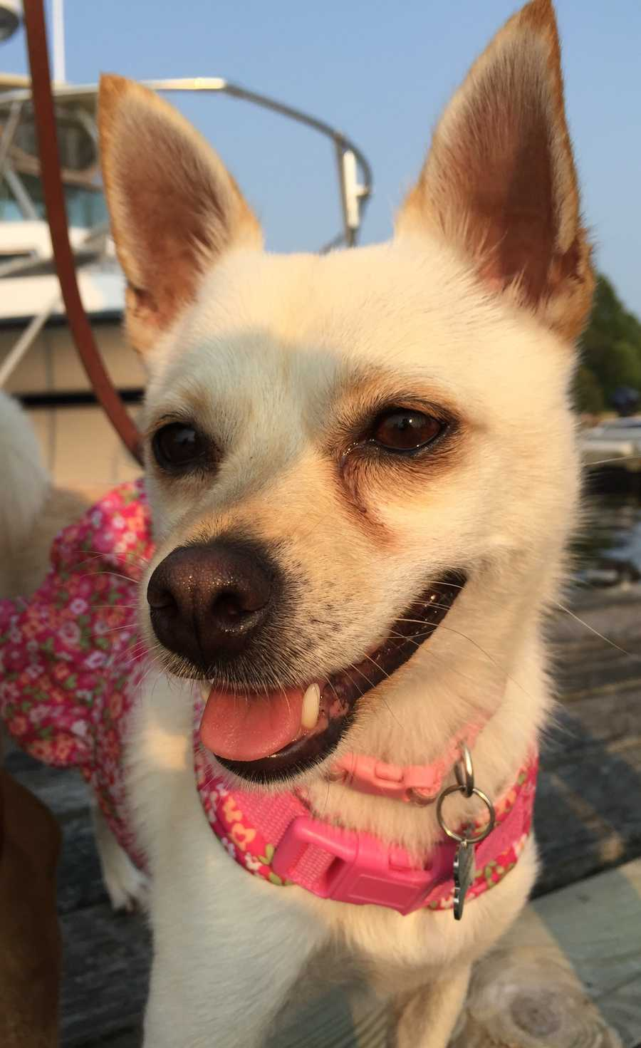 Diva is a 1.5 year old Chihuahua mix. She's an affectionate girl who will shower you with kisses! MORE