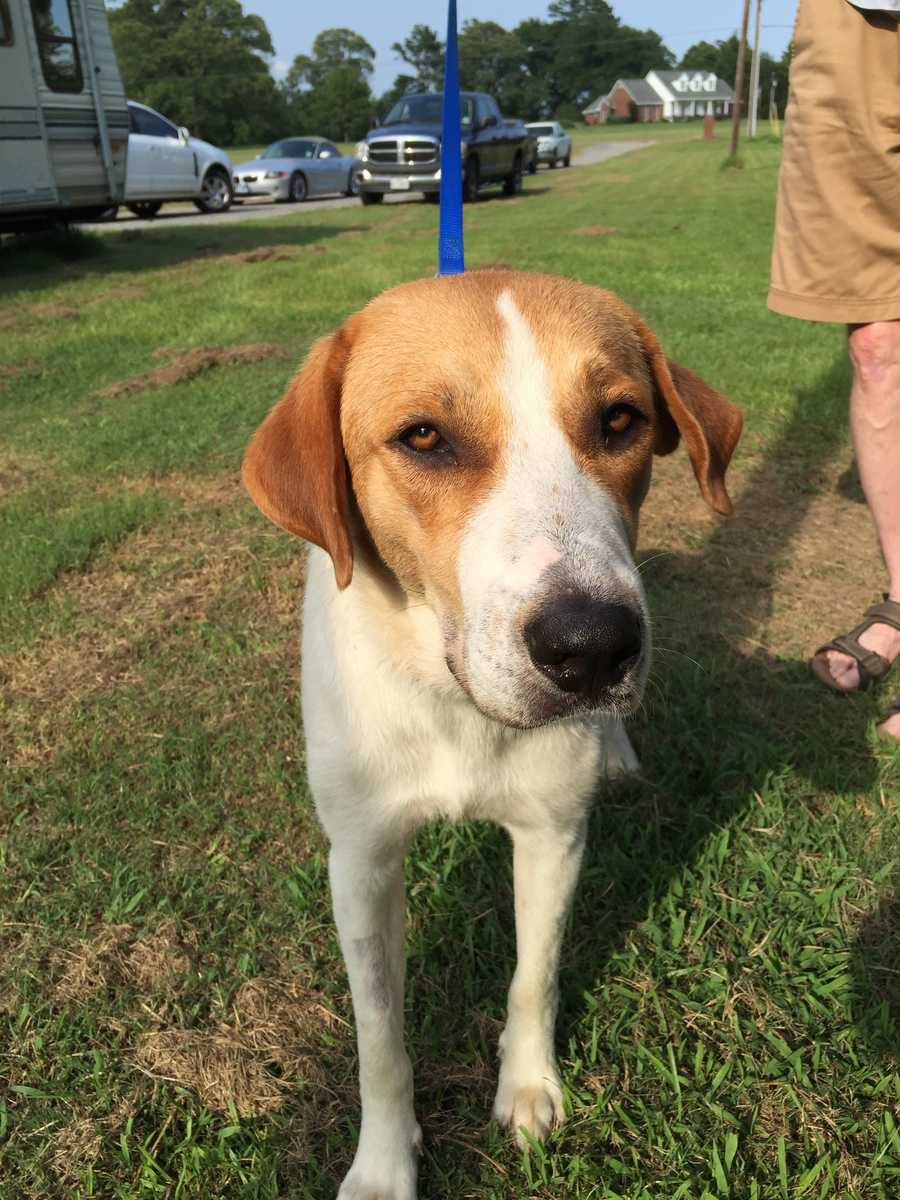 Donahue is a 1.5 year old hound-lab mix. He's a playful guy who enjoys romping with his canine siblings. MORE