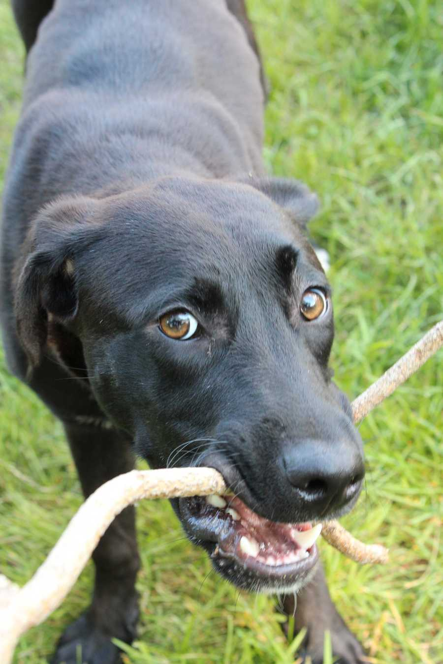 Knox is an 8 month old black lab-Great Dane mix. He's looking for an active family with canine siblings. MORE