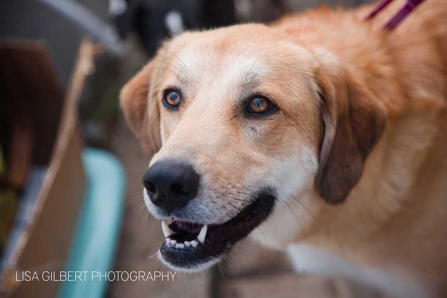Roxanne is a 2 year old yellow lab mix. She's a special needs dog looking for a loving home. MORE