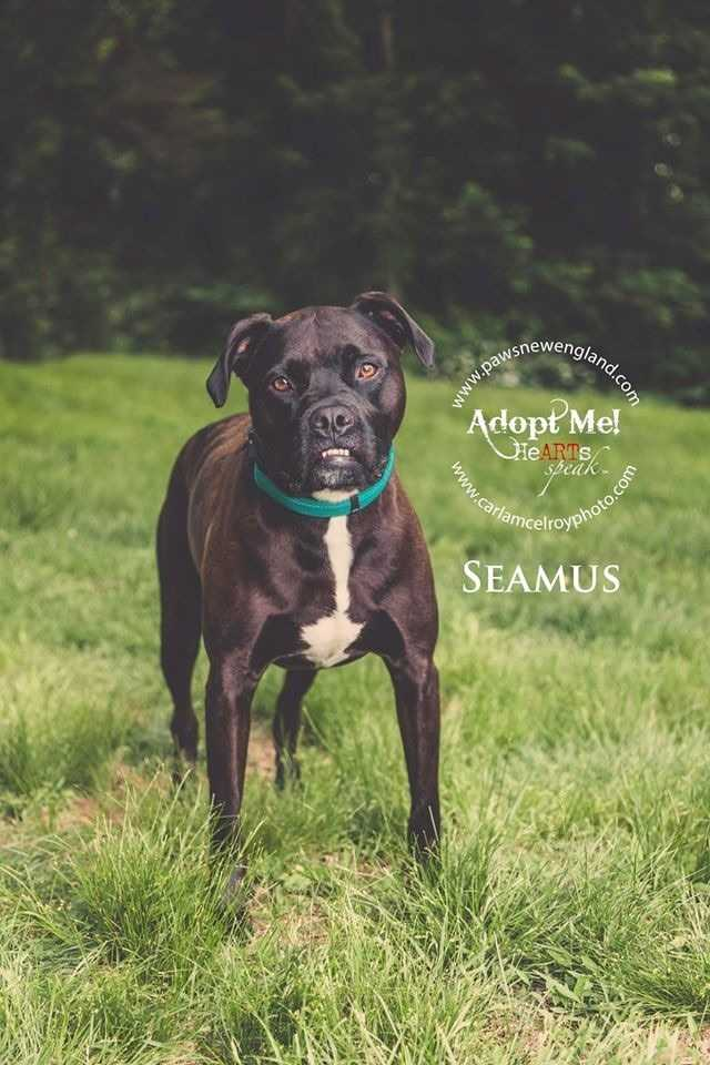 Seamus is a 3 year old boxer mix. He's looking for an active, adult only home where he can run and play. MORE