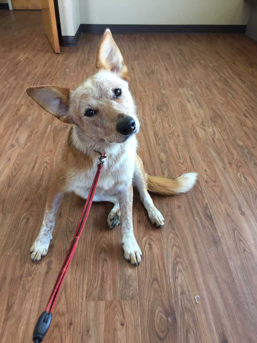 Simba is a 1 year old red heeler. He loves playing with dogs and kids. MORE