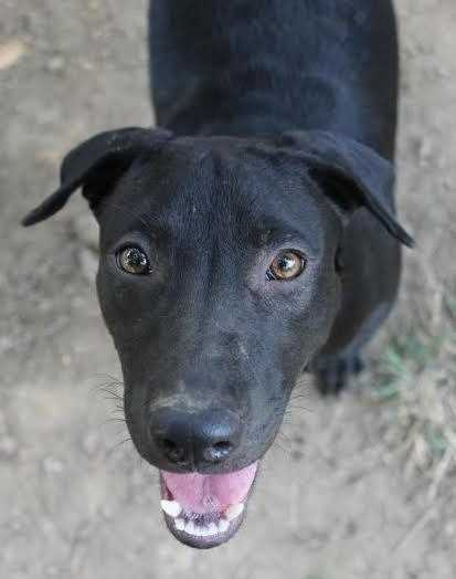 Stella Star is a 1.5 year old black lab mix. She's a playful girl who adores dogs and kids. MORE