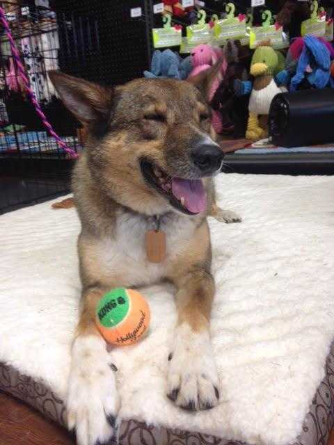Tasha is a 5 year old shepherd mix. She loves to play and is never without a tennis ball in her mouth. MORE