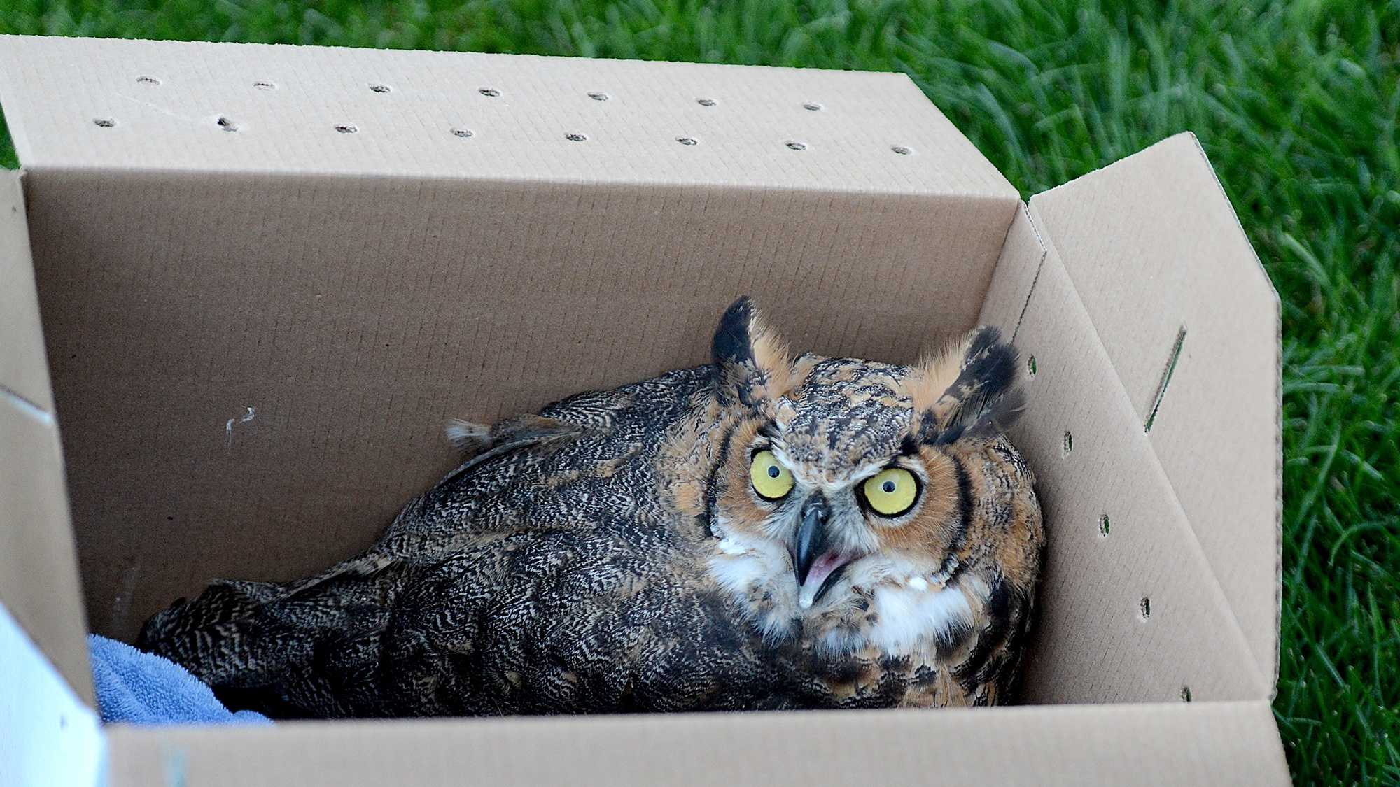 An adult female great horned owl, named Emma by campers at Meadowbrook Day Camp in Weston, sits it its box moments before release back into the wild Wednesday night. The owl was rescued from a soccer by Weston Police and Massachusetts Environmental Police on July 21, and nursed back to health at Cummings Veterinary Medical Center at Tufts University in North Grafton.