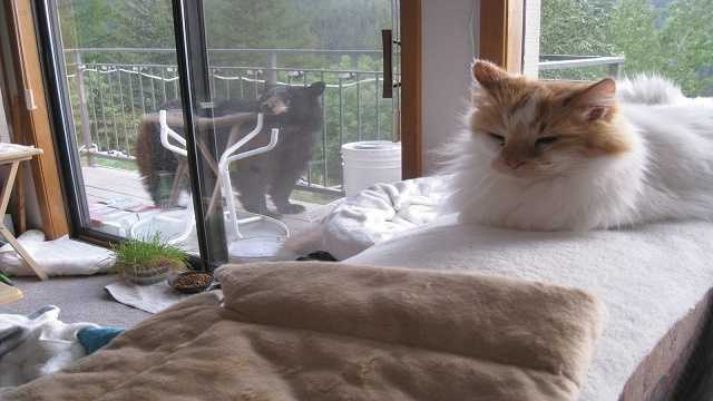 "Condo owner's cat ""Cujo"" is not impressed with bear visit."