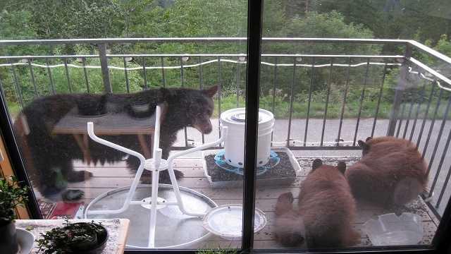 Three bears eating bird seed on condo deck.