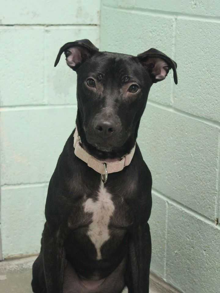 My name is Elena! I am a 1-year-old female Sato. I'm a demure and sweet girl from Puerto Rico. If you can find it in your heart to give me a little patience when we first meet, I'll become my true lovey-dovey self in no time! I will do best with dog-savvy kids ages 10+. I love other dogs, but I like to chase cats. For more information, please call, visit, or email the shelter. Buddy Dog Humane Society, Inc. Sudbury, MA (978) 443-6990 or info@buddydoghs.com