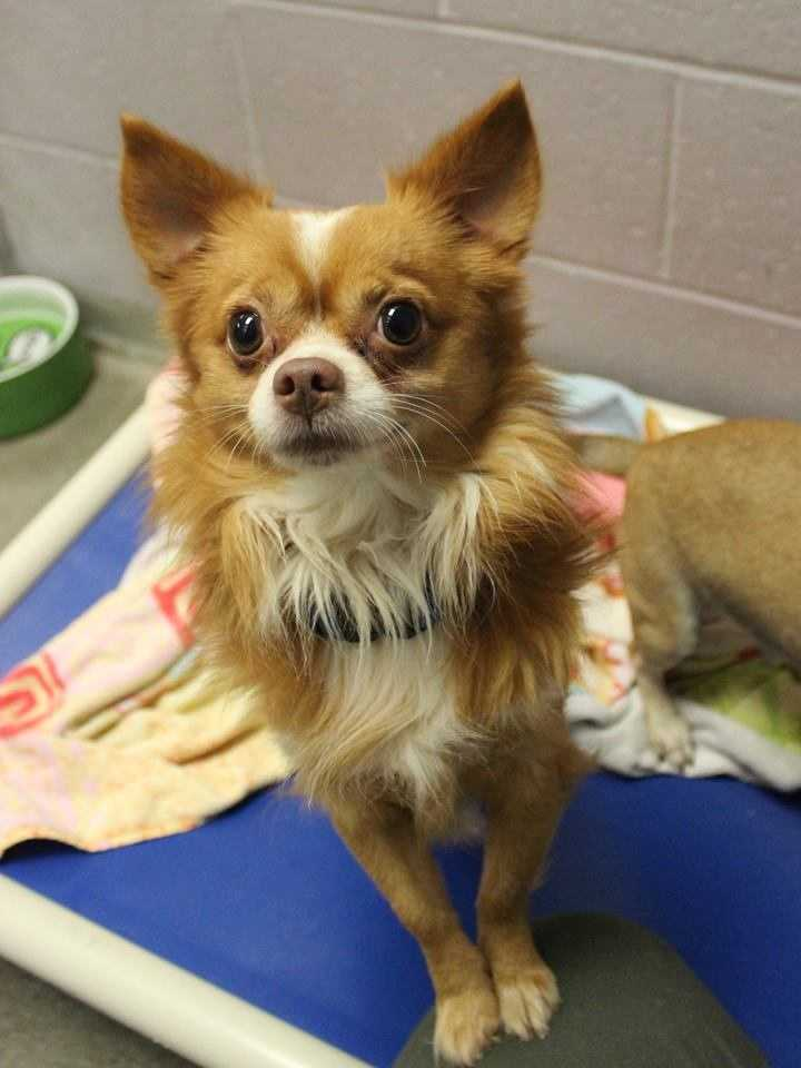 My name is Gizmo! I am a 3-year-old Chihuahua mix. I am a very sweet, gentle little guy. I would be so grateful to be part of a home where I can be loved and spend time with my people. I would like to be part of a quiet household where there are no family members under 13. I am still working on things like house-training and basic obedience! For more information, please call, visit, or email the shelter. Buddy Dog Humane Society, Inc. Sudbury, MA (978) 443-6990 or info@buddydoghs.com
