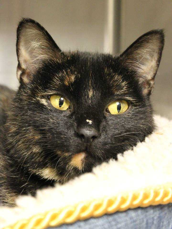 My name is Lannah! I am a 3 year-old female DSH. I am proud to say I am a cat who knows what she likes! My favorite humans are the ones who understand that I'm independent and like to do my own thing. I will let you know when I want affection, and when I don't. I will do well with kids ages 15+. For more information, please call, visit, or email the shelter. Buddy Dog Humane Society, Inc. Sudbury, MA (978) 443-6990 or info@buddydoghs.com